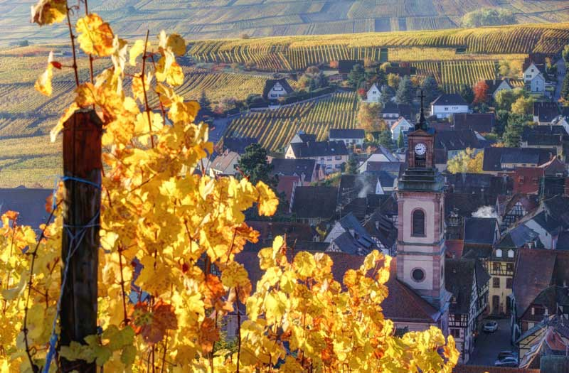 Vineyards on the Alsace wine route, golden leaves in autumn