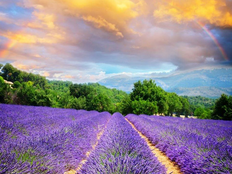 Lavender field in Provence under a rainbow