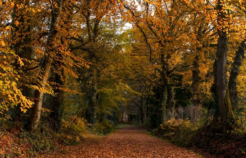 Tall leafy trees of gold and red at autumn