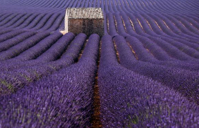 Tiny stone house in the middle of blooming lavender