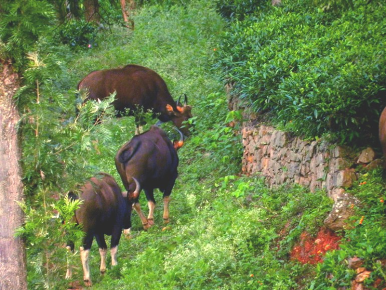 6.30 AM wakeup call by a herd of Gaur - Indian bison - at OLand