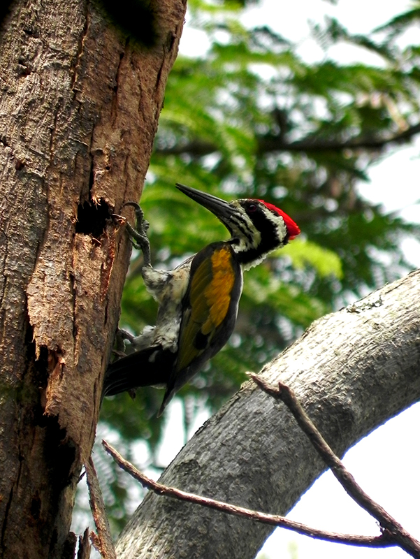 Flameback woodpecker at Pugmarks Forest Lodge