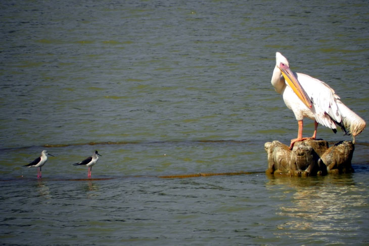 Gujarat_Bhuj_HamirsarLake_Pelican - The colours of Kutch