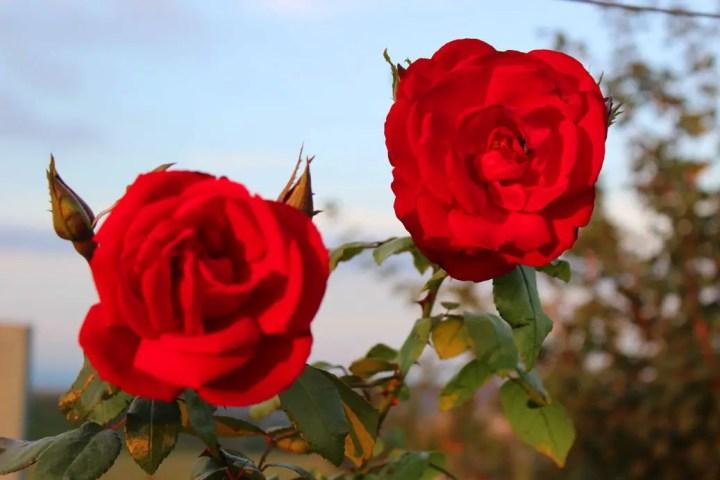 Roadside roses near Gau Algesheim