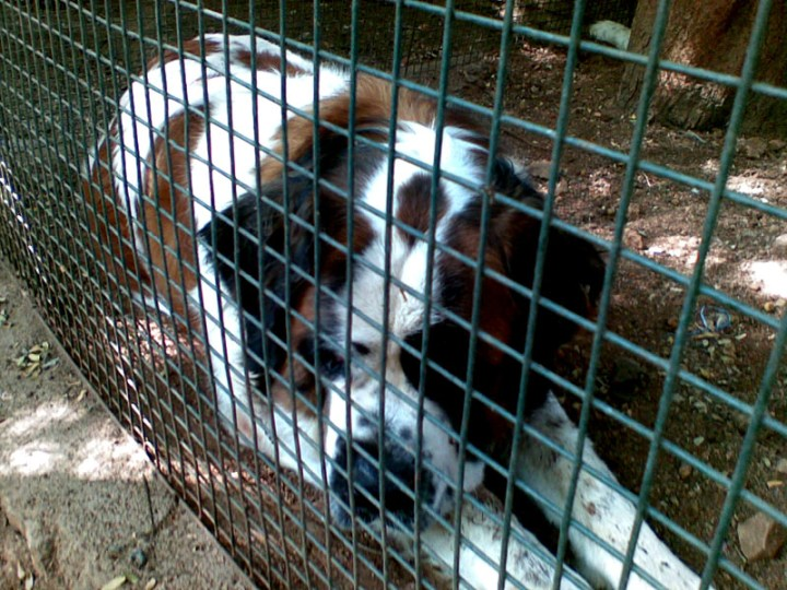 St. Bernard in cage - Eight things every first-time dog owner should do (and one that they shouldn't)