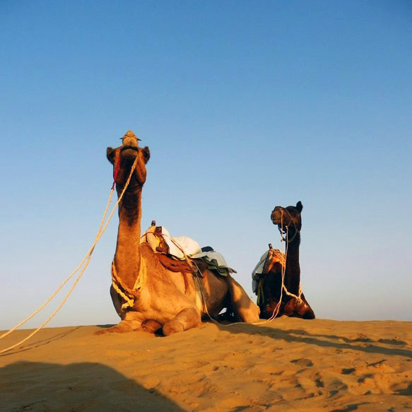 Camels in the desert near Jaisalmer, Rajasthan, India- responsible traveller