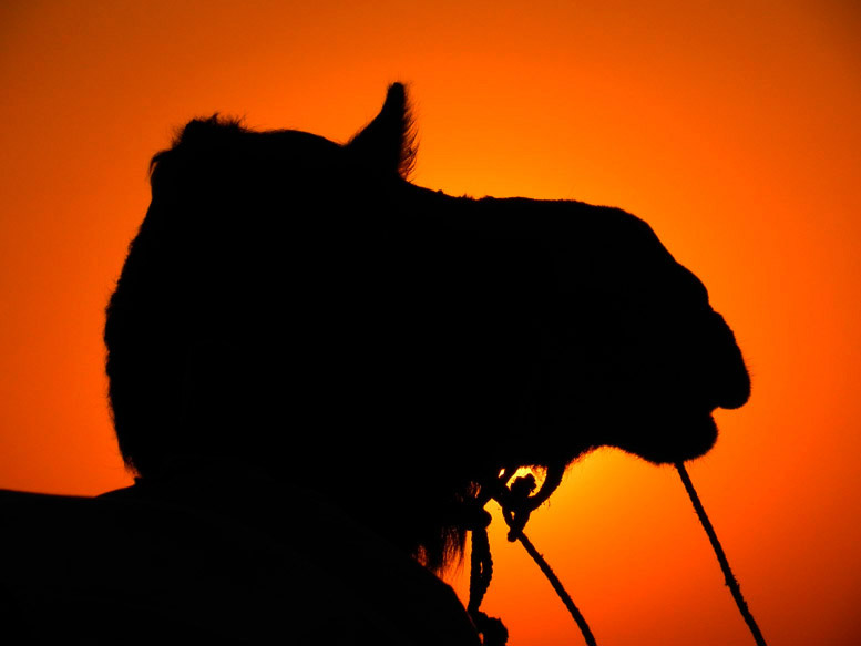 Silhouette of a camel against the sunset in the desert near Jaisalmer, Rajasthan, India - travel mistakes we made