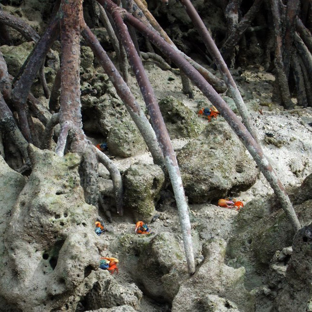 Andamans-Havelock-Fiddler crabs