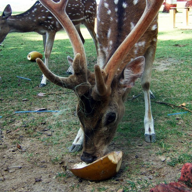 Andamans-Ross-Stag and coconut