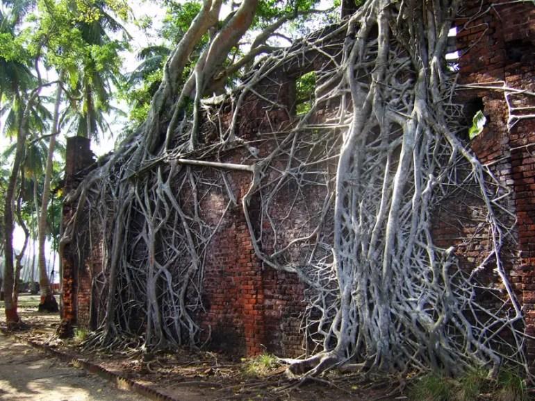 Andamans-Ross-Strangler figs1