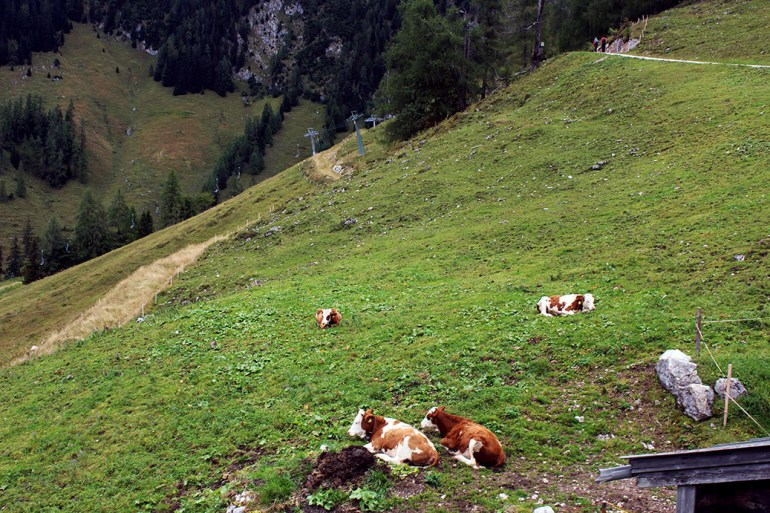 Cows - Ainring, Salzburg and the Jenner: A road trip through Germany, and other ways to pass the time (Part 5)