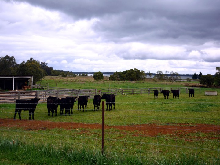 Sydney - Southern highlands bulls