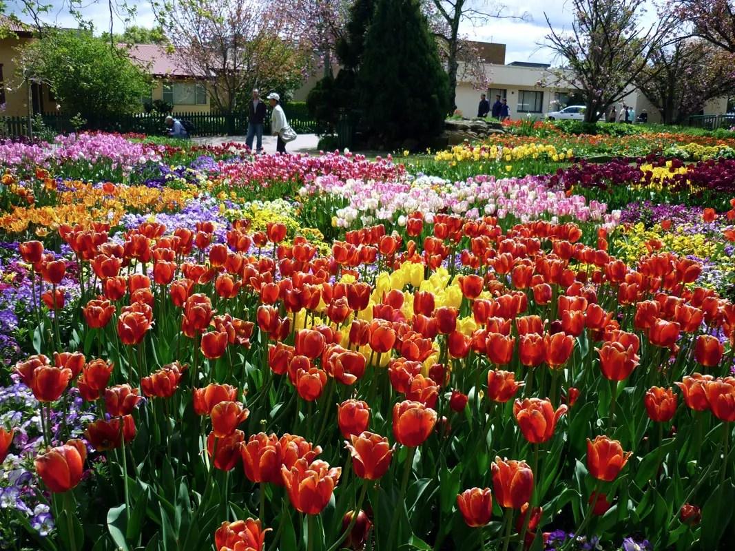 Sydney - Southern highlands tulips