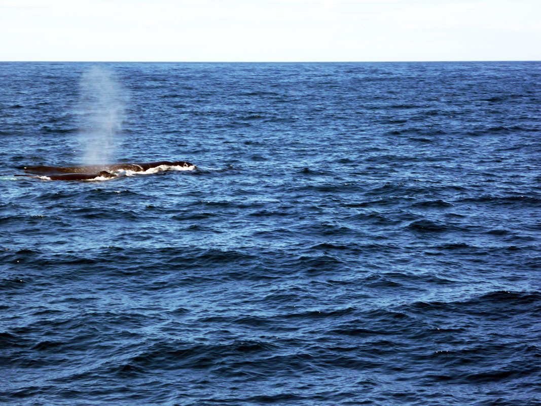 Sydney - Whales plume
