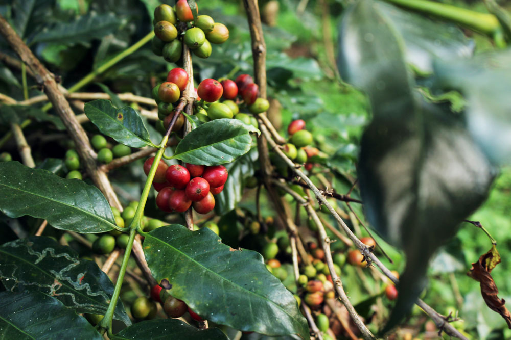 Coffee berries - What to do in Coorg