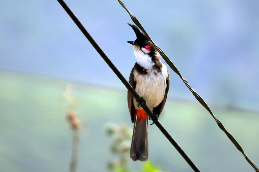Red whiskered bulbul in Valparai, Tamil Nadu, India - winter holiday destination