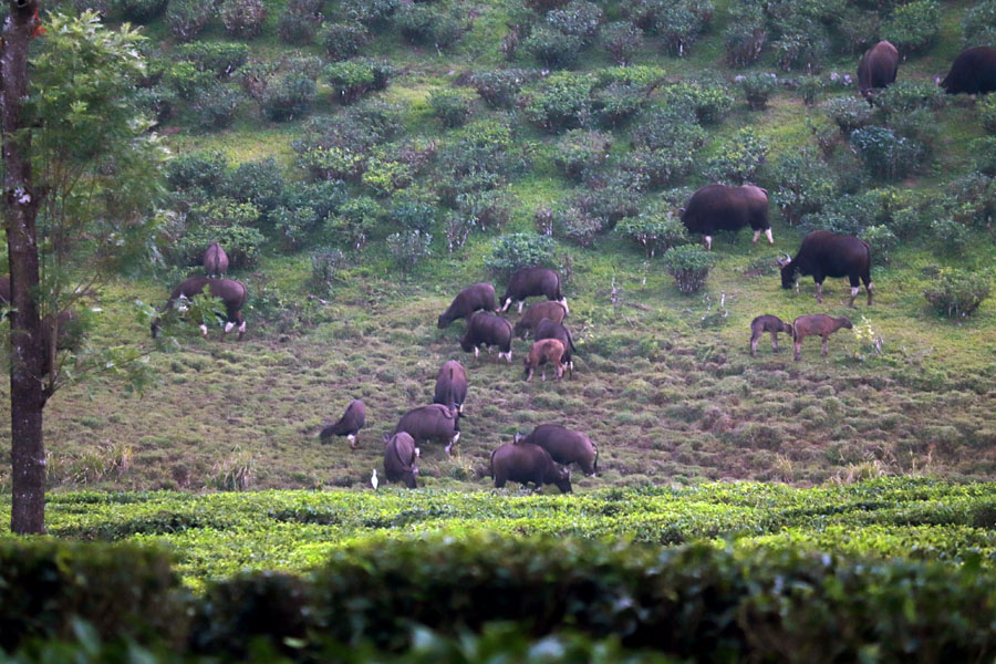 A herd of gaur in a tea plantation in Valparai, Tamil Nadu, India- an escape from the summer heat