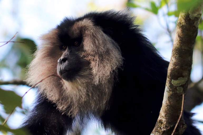 Lion-tailed macaque in Valparai, Tamil Nadu, India - an escape from the summer heat