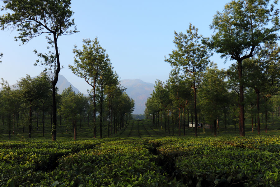View of mountains through tea plantations in Valparai, Tamil Nadu, India