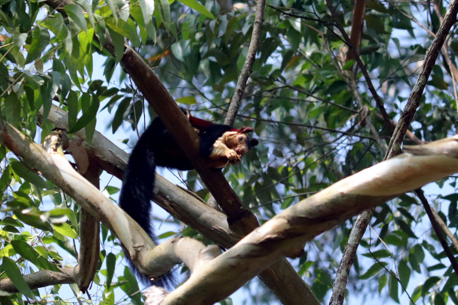 Malabar giant squirrel in a eucalyptus tree in Valparai, Tamil Nadu, India - winter holiday destination