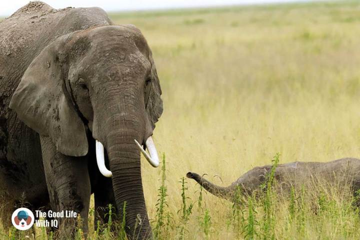 An elephant and her baby in Amboseli National Park