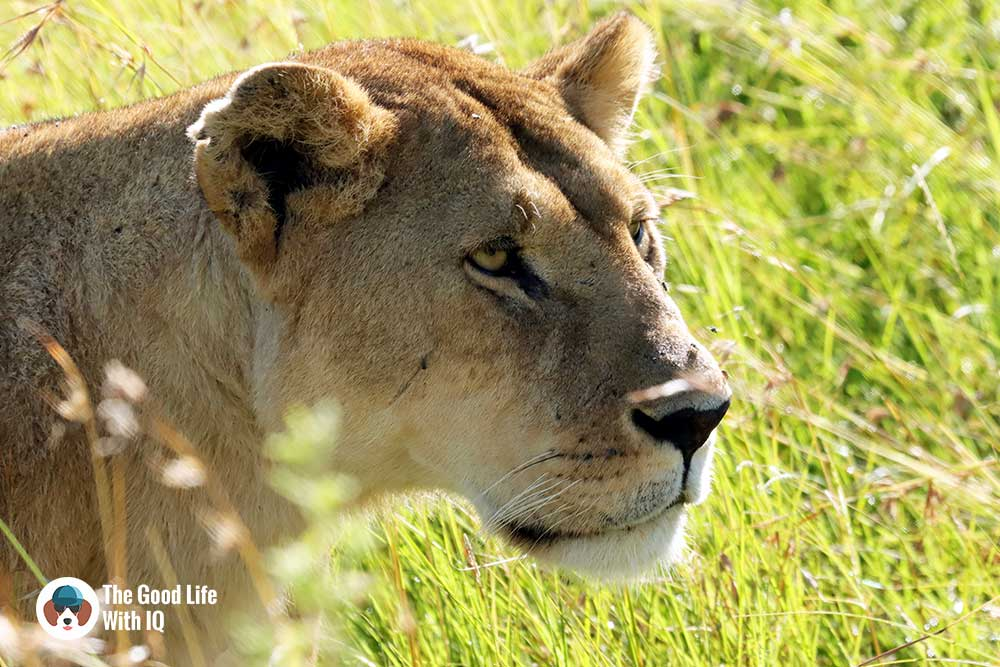 Lioness - Planning your Kenya safari from India