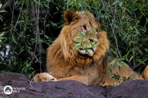 Lion on a rock at Lake Nakuru National Park, Kenya, Africa