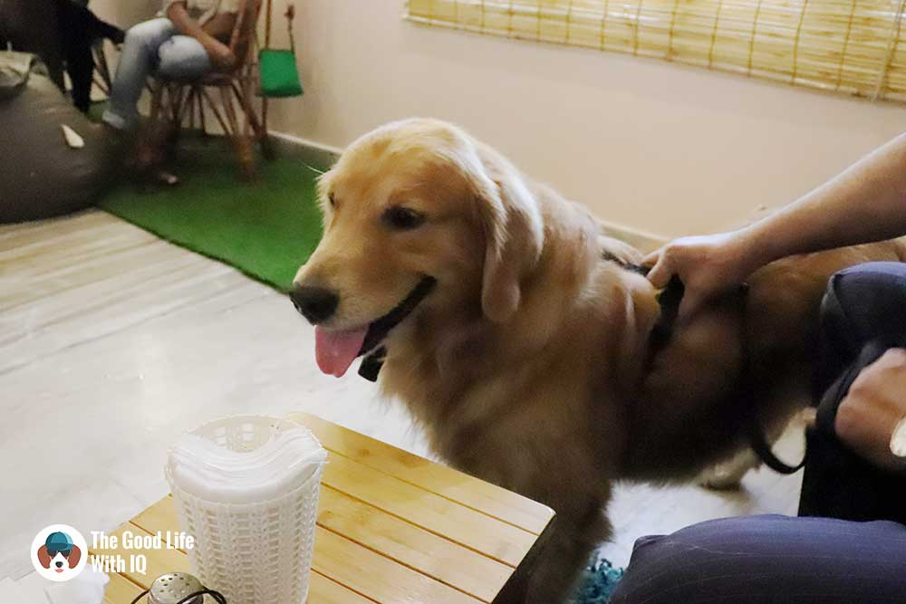 Golden retriever - The Pet Café: Hyderabad's new pawty hotspot