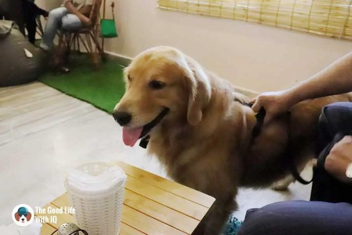 Golden retriever - The Pet Café: Hyderabad's new pawty hotspot