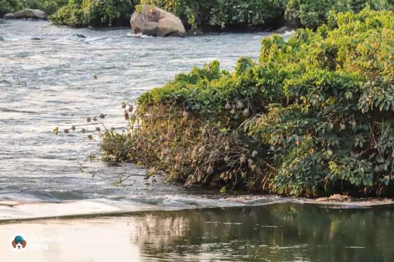Weaver bird nests - View from Haven, Jinja, Uganda