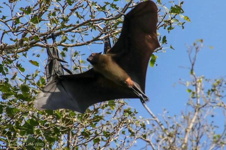 Fruit bat, Ranthambhore
