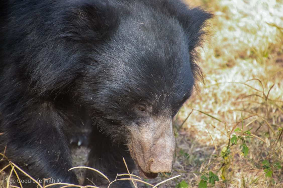 Sloth bear, Ranthambhore
