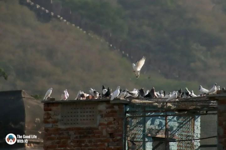 Pigeons, Amer, Jaipur