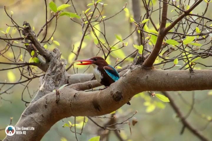 white-breasted kingfisher - Ranthambhore safari