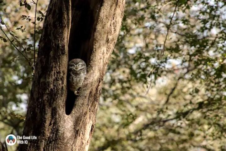 spotted owlet - Ranthambhore safari