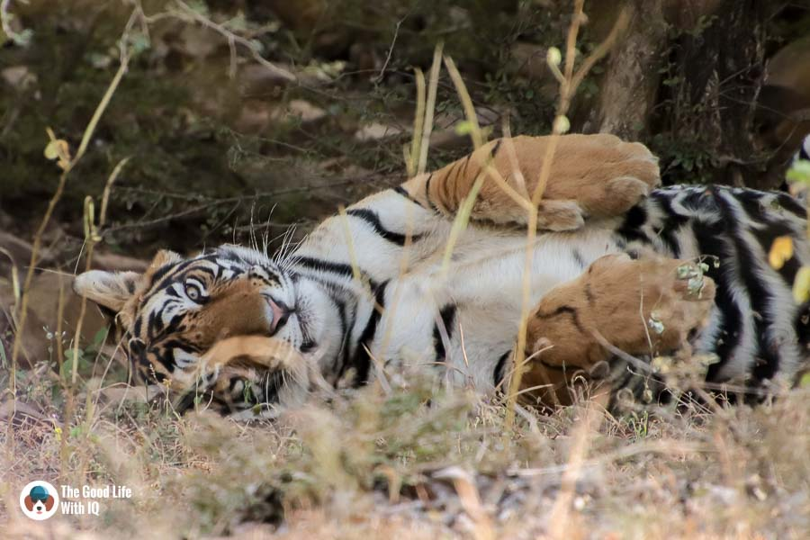The first stop on our motorcycle tour: A Ranthambhore safari experience