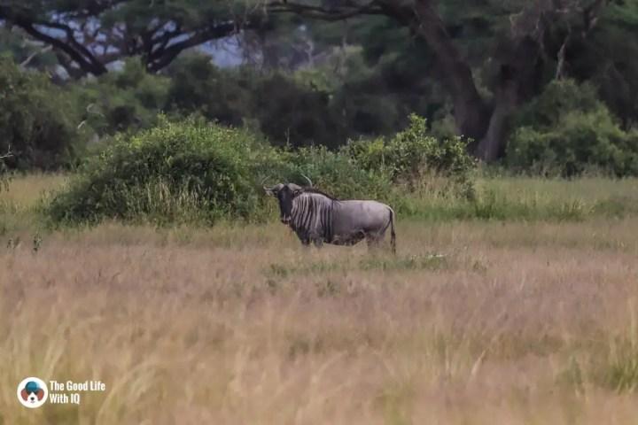 Kenya safari - Amboseli - Wildebeest