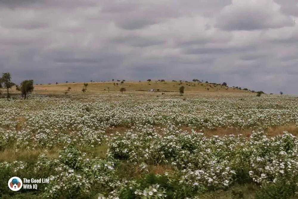 Kenya safari - Amboseli - Fields of white flowers