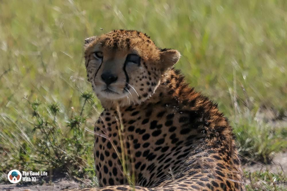Kenya safari - Masai Mara - Cheetah