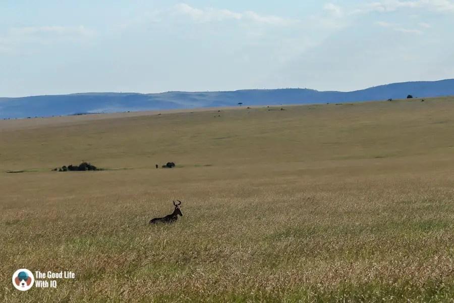 Kenya safari - Masai Mara - Hartebeest