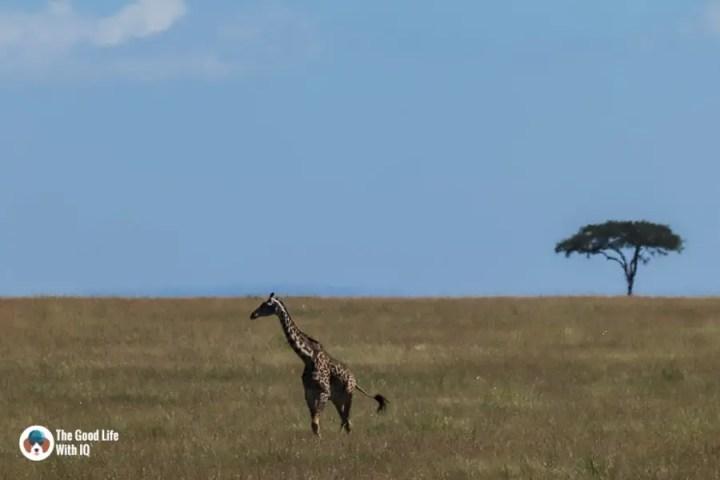 Kenya safari - Masai Mara - Giraffe