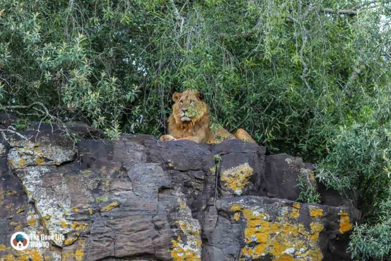 Kenya safari - Nakuru - Lion on rock