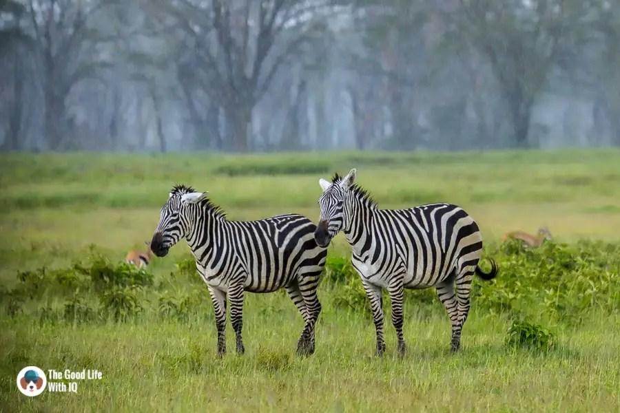 Kenya safari - Nakuru - Zebra