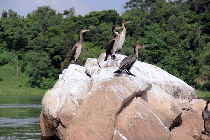 Cormorants on river rock - Jinja, Uganda