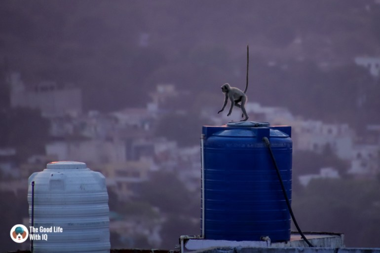 Langur playing on water tank
