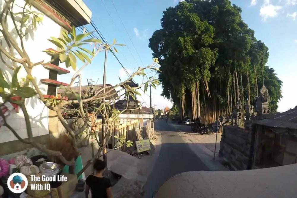 Ficus tree, Lembongan, Bali