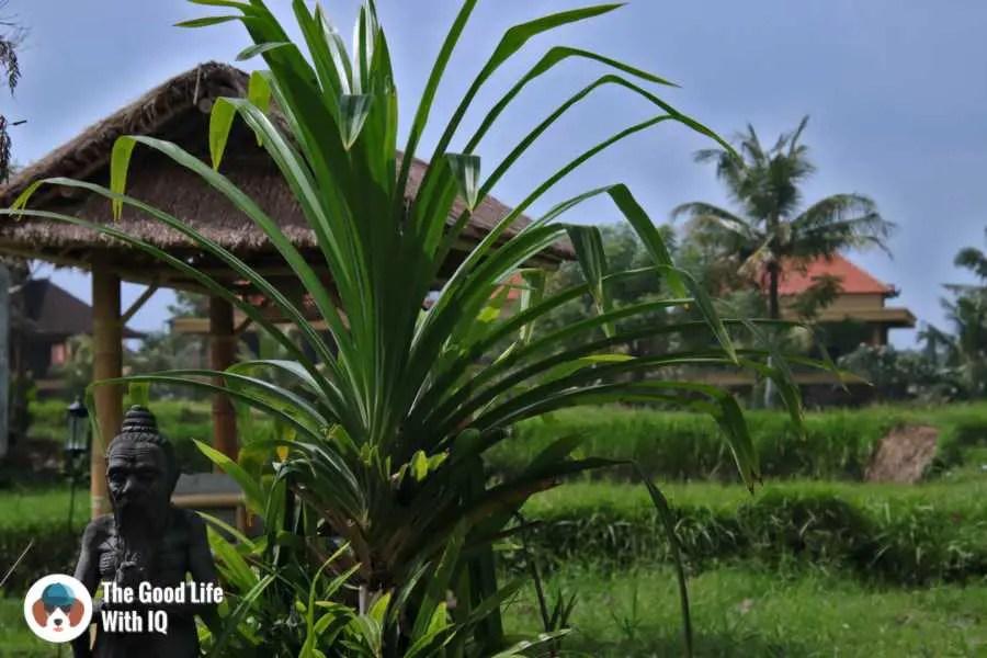Rice fields - Three days in ubud, Bali