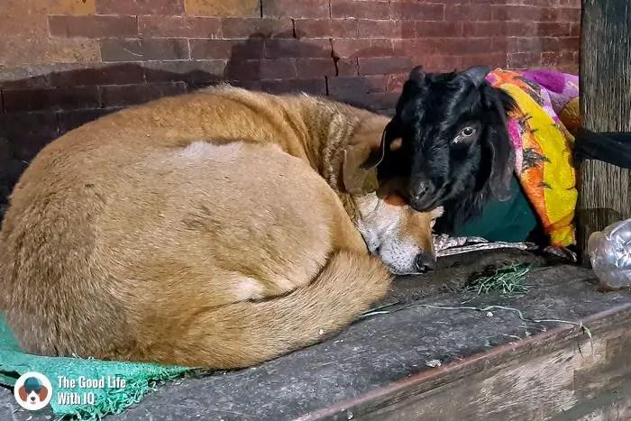 Kathamandu durbar square - Dog and goat