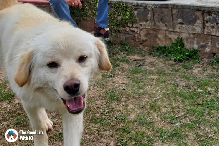 Doggie in Naddi, Dharamshala