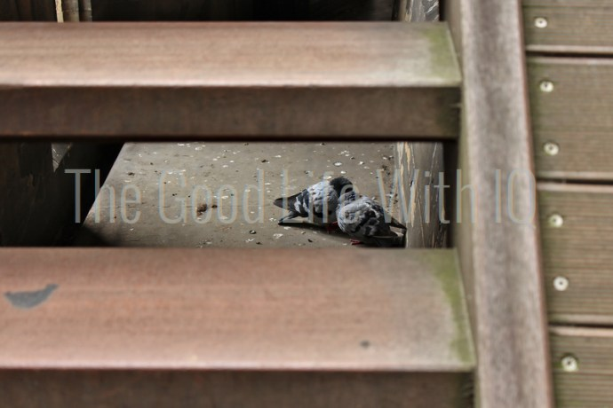 Pigeons under a wooden staircase in Germany